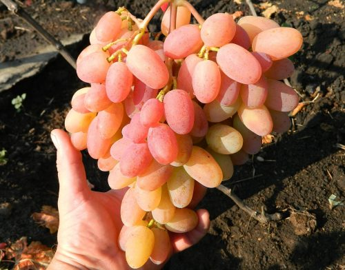 характеристика винограда юлиан