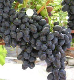 особенности винограда забава