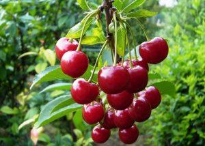 посадка вишни молодежной