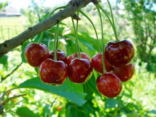 описание вишни шпанка