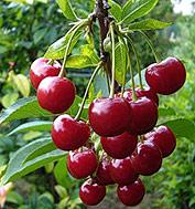 достоинства вишни шпанка
