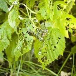малинные жуки