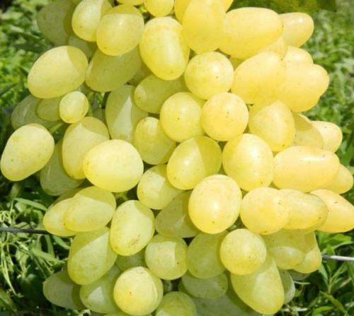 Зарница виноград