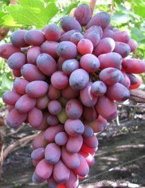 характеристика сорта винограда кармакод