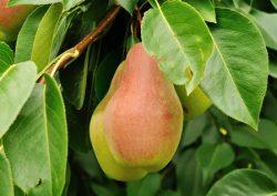 описание сорта груша яковлевская