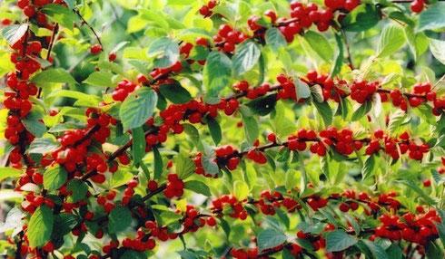 , как вырастить войлочный вид вишни из косточки