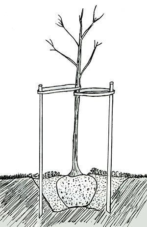 как прваильно пересаживать яблони