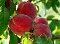 особенности сорта персика кардинал