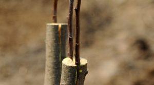 процесс прививания вишни