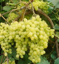 характеристика сорта винограда алешенькин