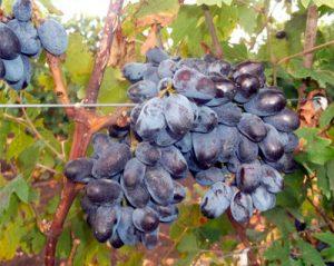 посадка винограда эталон
