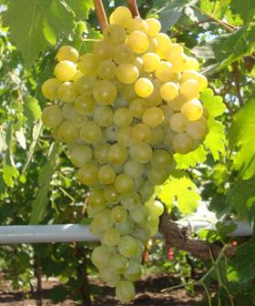 посадка винограда фрумоаса албэ