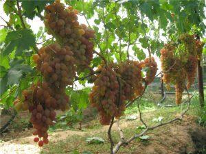 уход за виноградом хамелеон