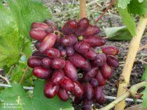 уход за виноградом изюминка