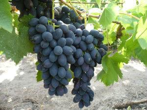 особенности ухода за виноградом кодрянка
