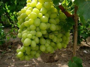 посадка и уход за виноградом ланселот