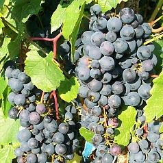 посадка и уход винограда памяти шатилова