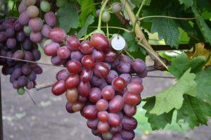 уход за виноградом подарок ирине