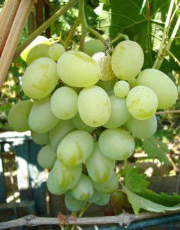 приемущества и недостатки винограда подарок запорожью