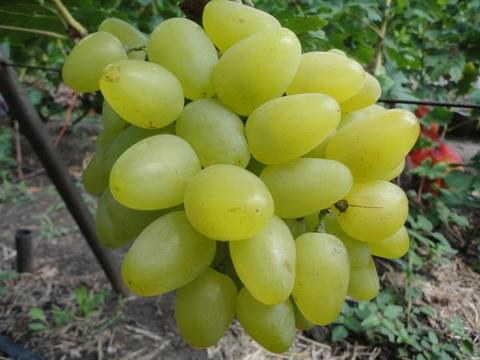 виноград подарок запорожью
