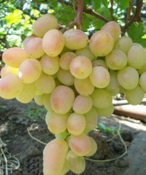 посадка и уход за виноградом розовая дымка