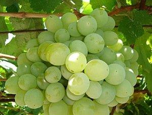 особенности сорта винограда талисман