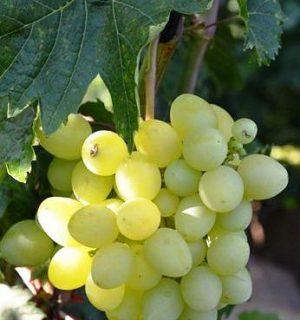 плюсы и минусы винограда тасон