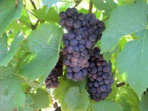характеристика сорта винограда триумф