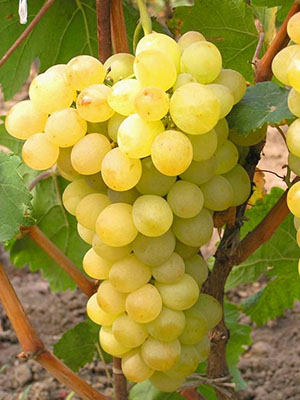 Посадка и уход за виноградом восторг