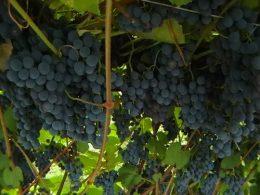 уход за виноградом зилга