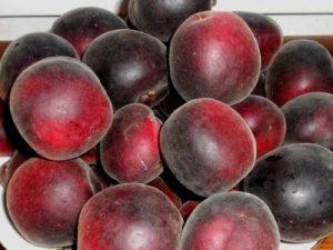сильные и слабые стороны абрикоса черный принц