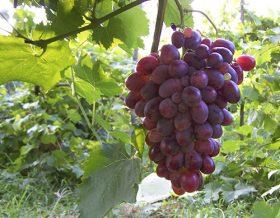 Шахина ирана виноград