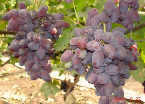виноград аметист новочеркасский