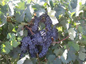 Виноград Гранатовый