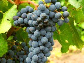 Характеристика винограда Ливадийский черный