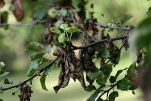 Признаки заболевания груши