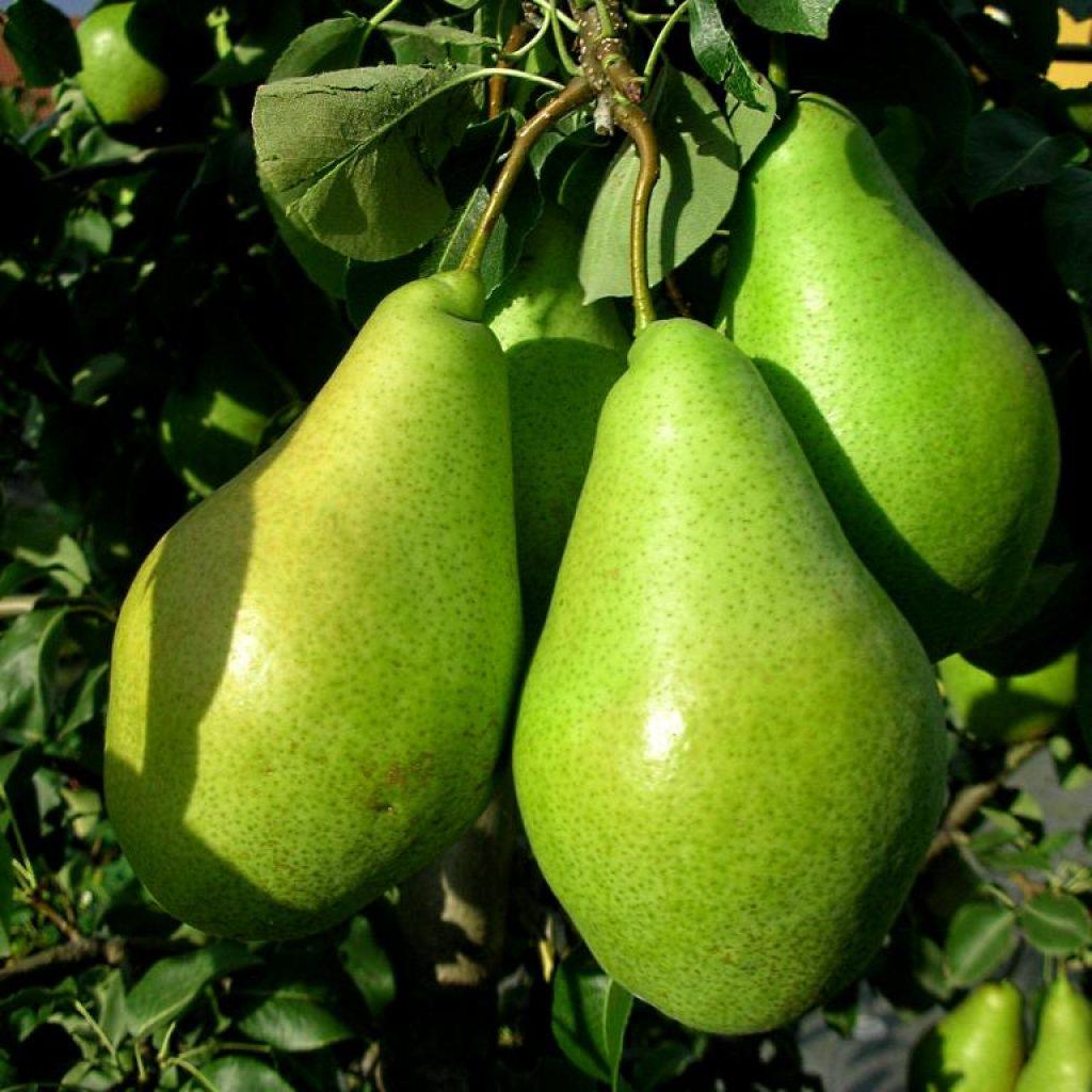 Сорт зеленых груш