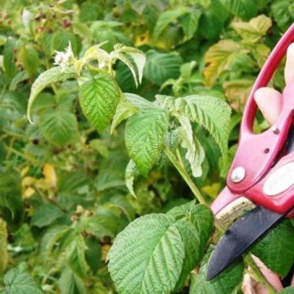 Как правильно сделать правильную обрезку малины осенью