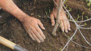уход за пересаженым деревом