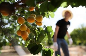 особенности хранения абрикосов