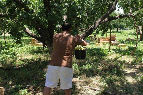 Как собрать абрикос