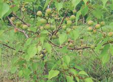 чем лечить плодовые культуры от монилиоза