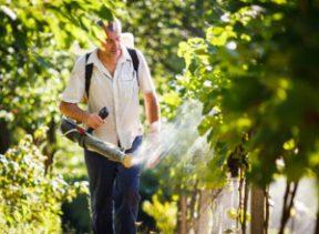 Как проводить обработку кустов винограда медным купоросом