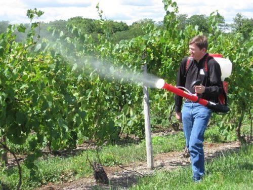 обработка винограда железным купоросом