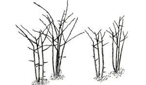 обрезка ежевики осенью и весной
