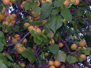 Летняя подкормка абрикосов