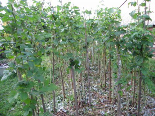 посадка малины весной