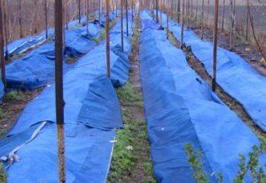 сорта ежевики устойчивые к холодам