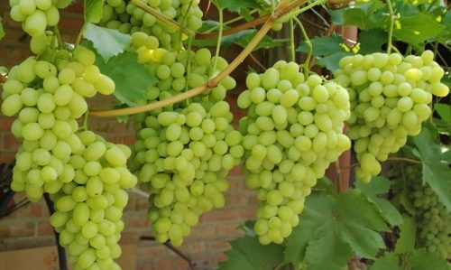 виноград Лора(флора)