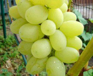посадка и уход за виноградом лора(флора)